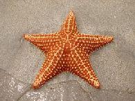 devocional estrella de mar