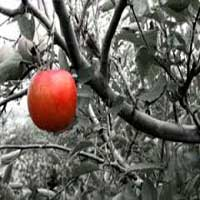 tentacion-manzana